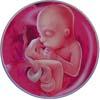 http://calcsoft.ru/img/pregnancy/20week.jpg