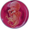 http://calcsoft.ru/img/pregnancy/23week.jpg