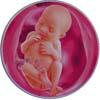 http://calcsoft.ru/img/pregnancy/25week.jpg