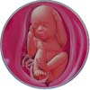 http://calcsoft.ru/img/pregnancy/26week.jpg