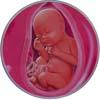 http://calcsoft.ru/img/pregnancy/28week.jpg