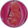 http://calcsoft.ru/img/pregnancy/31week.jpg